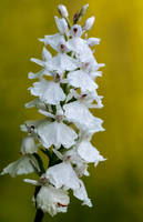 Orchis hypochromic